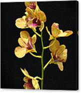 Dendrobium Orchid Canvas Print