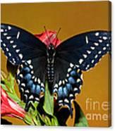Eastern Black Swallowtail Canvas Print