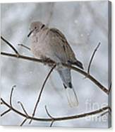 Eurasian Collard Dove Canvas Print