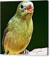 Female Painted Bunting Canvas Print
