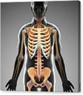 Male Skeletal System Canvas Print