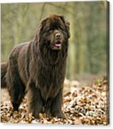Newfoundland Dog Canvas Print