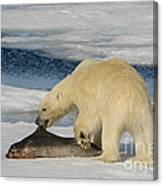 Polar Bear With Fresh Kill Canvas Print