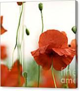 Red Poppy Flowers Canvas Print
