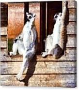 Ring Tailed Lemurs Canvas Print
