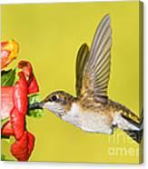 Ruby-throated Hummingbird Female Canvas Print
