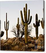 Saguaro Cacti Canvas Print