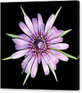 Salsify Flower Canvas Print