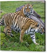 Siberian Tigers, China Canvas Print