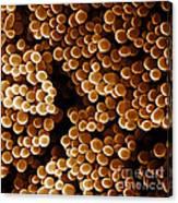 Staphylococcus Aureus, Sem Canvas Print