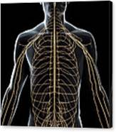 The Nerves Of The Upper Body Canvas Print