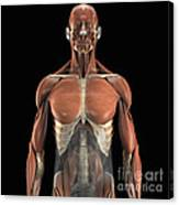 The Psoas Muscles Canvas Print