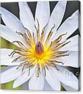 Water Lily  6 Canvas Print