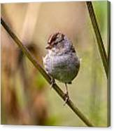 Whitecrowned Sparrow Canvas Print