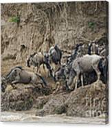 Wildebeests Crossing Mara River, Kenya Canvas Print