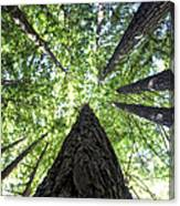 642 Pr A Stand  Of Trees Canvas Print