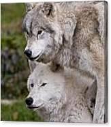 Arctic Wolves Canvas Print