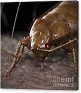 Bedbug Cimex Lectularius Canvas Print