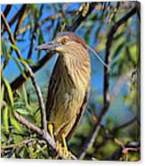 Black-crowned Night Heron (nycticorax Canvas Print