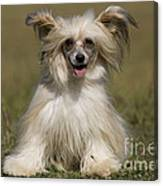 Chinese Crested Dog Canvas Print