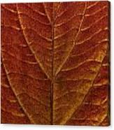 Dogwood Leaf Backlit Canvas Print