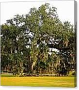 Louisiana Live Oak Tree Canvas Print