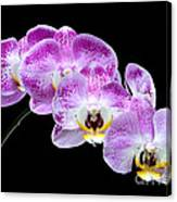 Moon's Orchid  Canvas Print