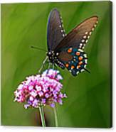 Pipevine Swallowtail Butterfly Canvas Print