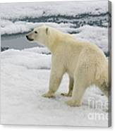 Polar Bear Crossing Ice Floe Canvas Print