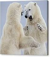 Polar Bears Play Fighting Along The Canvas Print