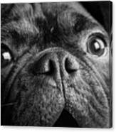 Portrait Of Pug Bulldog Mix Dog Canvas Print
