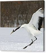 Red-crowned Cranes Canvas Print