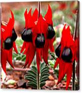 Sturt's Desert Pea Outback South Australia Canvas Print
