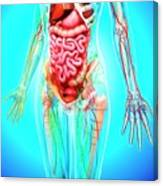 Female Anatomy Canvas Print