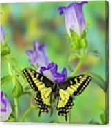 Anise Swallowtail Butterfly, Papilio Canvas Print