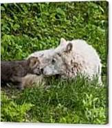 Arctic Wolf Pup Canvas Print