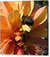 Dahlia From The Showpiece Mix Canvas Print