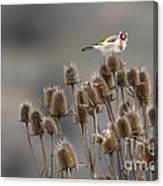 European Goldfinch Canvas Print
