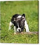 French Bulldoggs Canvas Print