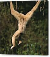 Gibbon A Mains Blanches Hylobates Lar Canvas Print