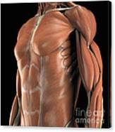 Muscles Of The Upper Body Canvas Print