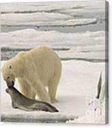 Polar Bear With Fresh Kill Canvas Print
