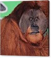 Portrait Of A Large Male Orangutan Canvas Print