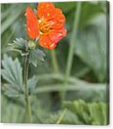 Scarlet Avens Orange Wild Flower Canvas Print