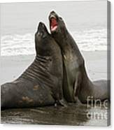 Southern Elephant Seal Canvas Print