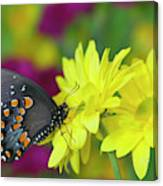 Spicebush Swallowtail, Papilio Troilus Canvas Print