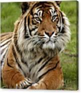 Tigre De Sumatra Panthera Tigris Canvas Print
