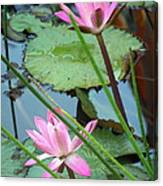 Pink Water Lily Pond Canvas Print