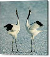 A Pair Of Japanese Or Red Crowned Canvas Print