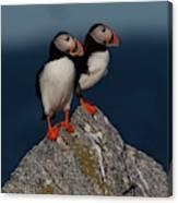 Atlantic Puffins Fratercula Arctica Canvas Print